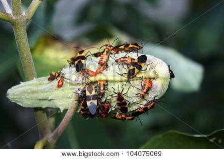 Large Milkweed Bugs on a Milkweed Seed Pod