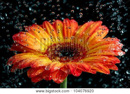 Orange gerbera with the rain drops