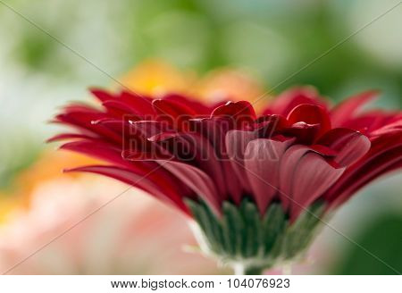 Red daisy gerbera flower with soft focus