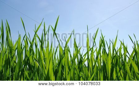 Green grass against the blue sky and sun
