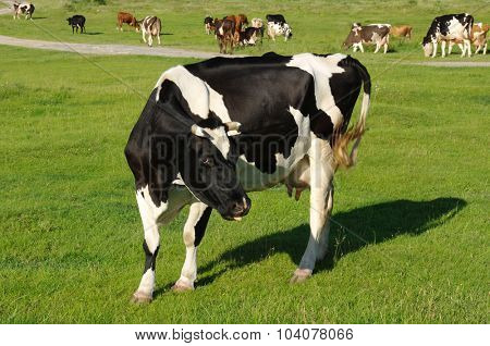 Cow grazing on a green meadow