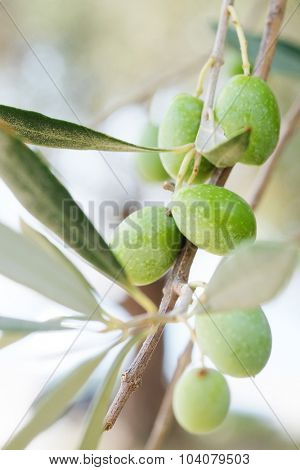 The image of an olive branch