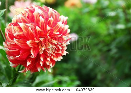 Beautiful chrysanthemum flower, close-up, outdoors