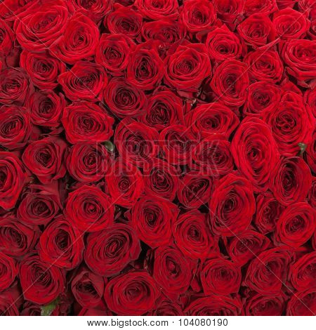 Red roses background natural texture of love.