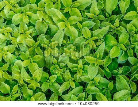 Fresh mint leaves after rain.