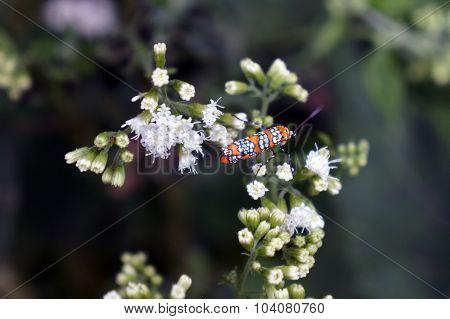 Alianthus Moth