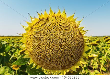 sunflower after flowing