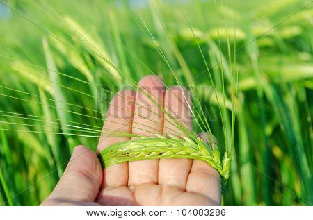 green rye in farmers hand over field