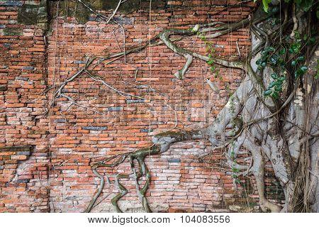 Ancient Wall With Tree At Wat Mahathat, Ayutthaya, Thailand.