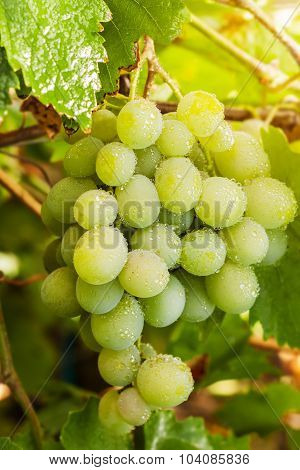 Green Bunch Of Grapes
