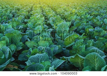 Collard Green Field