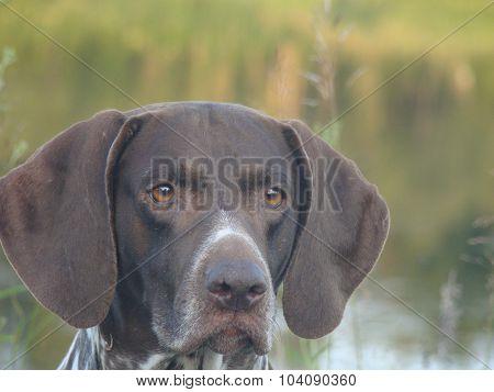 dog German shorthaired pointer