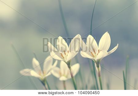 Flowers of rain lily ((Zephyranthes Candida Herb),closeup