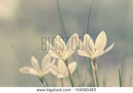 Flowers Rain lily (Zephyranthes white) closeup, vanilla toning,soft light