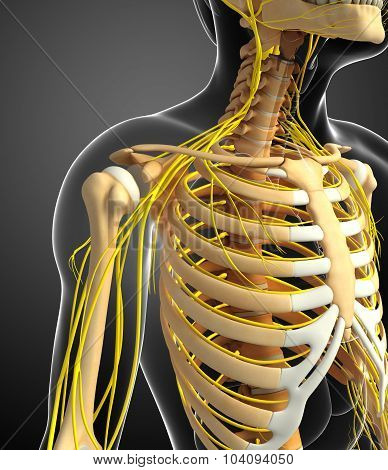 Nervous System And Male Ribcage Artwork