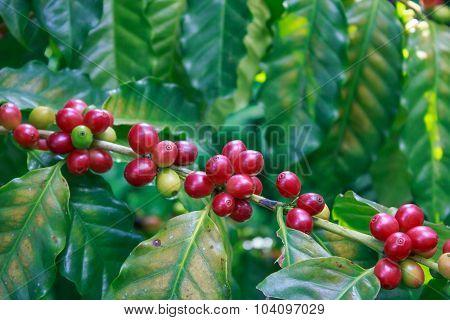 Coffee On Tree