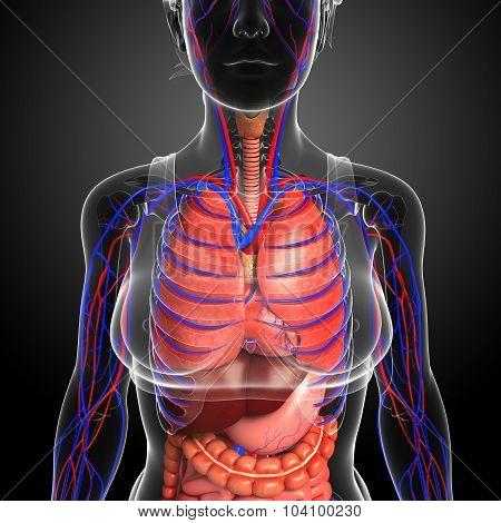 Female Respiratory System Artwork