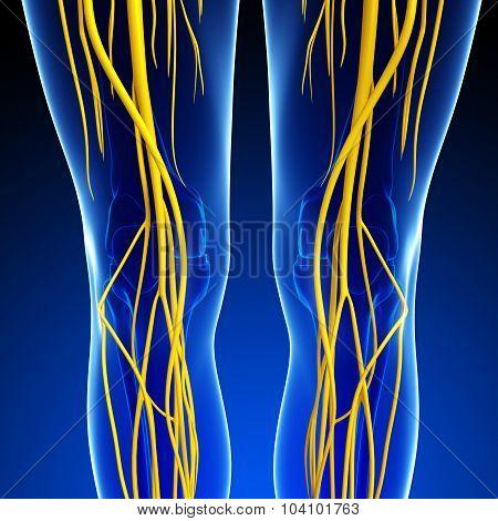 Human Knee Nervous System Artwork