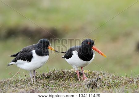 Oystercatcher with chick
