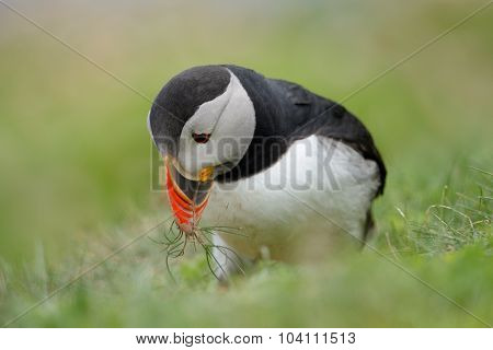 Puffin with nest materials