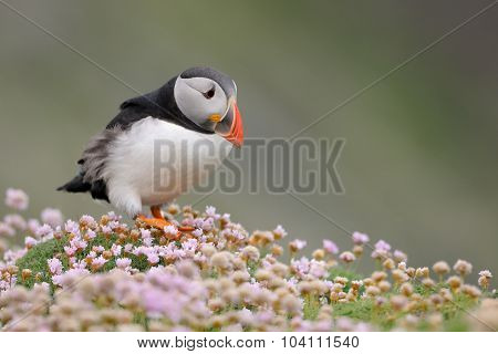 Puffin in Pink thrift