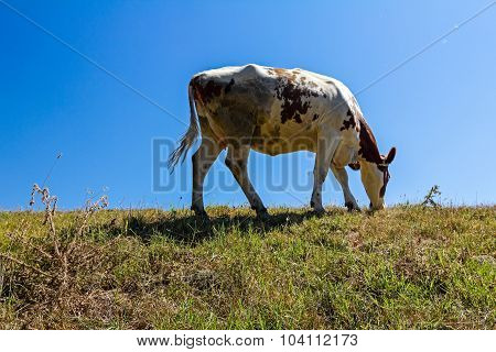 Portrait Of A One Cow.