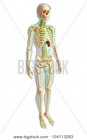 Lymphatic System Of Male Skeleton Artwork