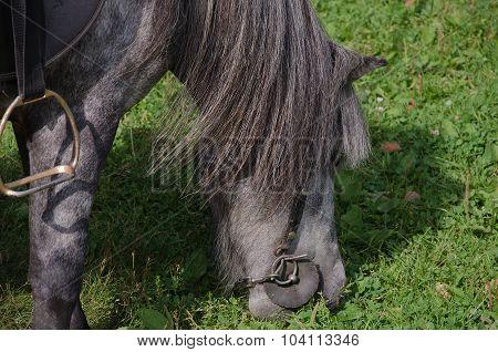 Pony eats grass
