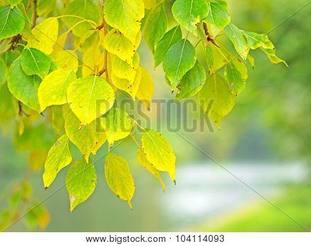 Poplar Leaves In Autumn