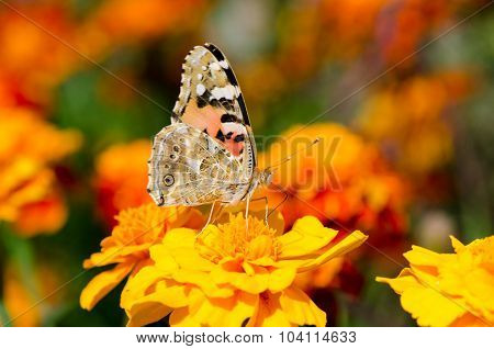Butterfly Sits On A Flower Marigold