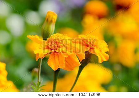 Marigolds, Bright Flowers Close Up