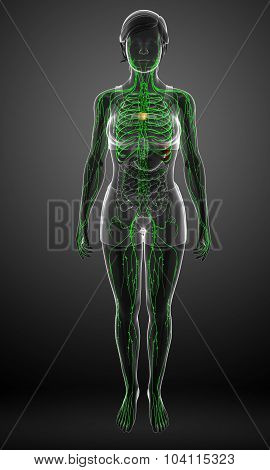 Lymphatic System Of  Female Body