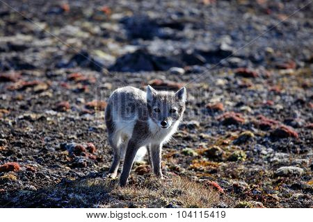 Arctic fox in summer season