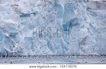 Seagulls feeding near glacier wall  (Franz Josef Land)