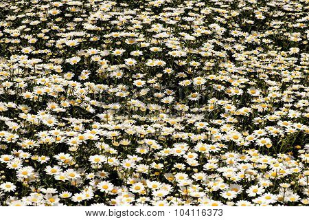 Pot of daisies