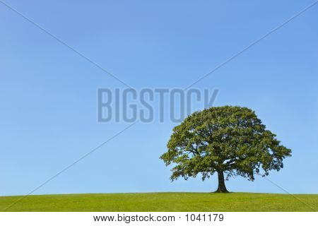 The Ancient Oak In Summer