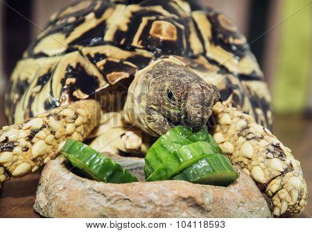 Leopard Tortoise (geochelone Pardalis) Eating Cucumber