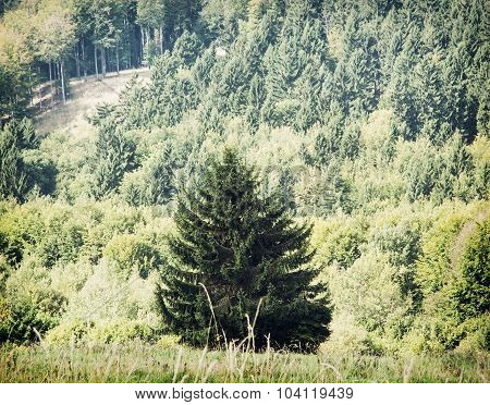 Lone Picea Abies Tree In Front Of The Forest