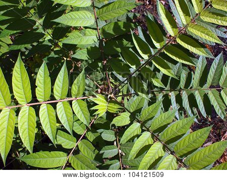 Overhead View Of A Young Sapling Tree Ailanthus Altissima
