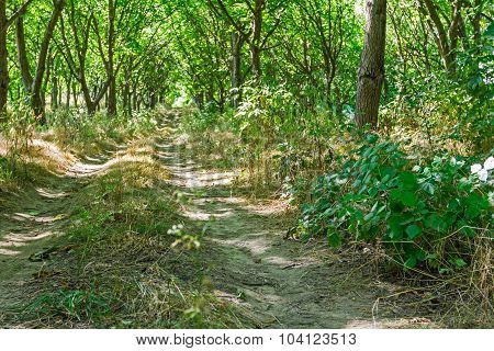 Overgrown Road Is Going Through The Wood.