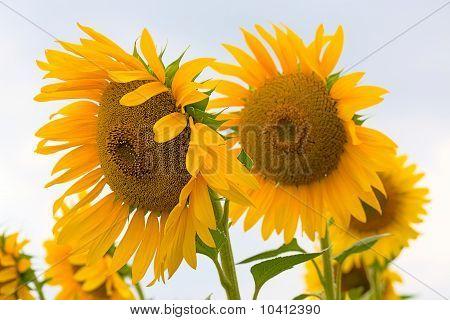 Blühenden Sonnenblumen