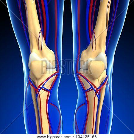 Human Knee Circulatory System