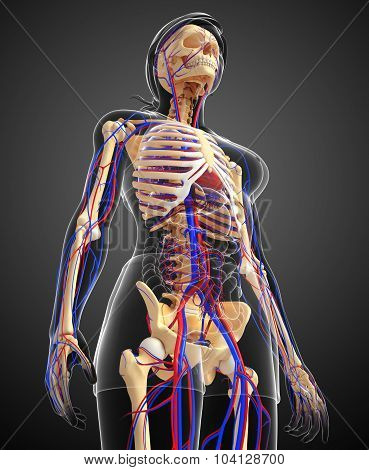 Human Skeletal Circulatory System