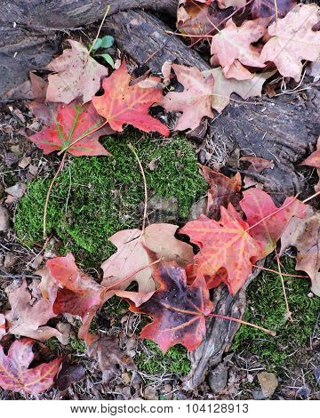 Fallen Autumn Maples Leaves on Moss