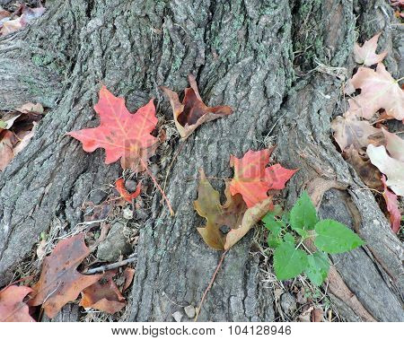 Autumn Maples Leaves on Tree Roots