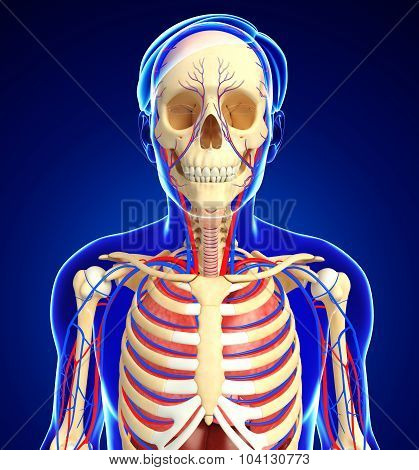 Female Skeletal And Circulatory System