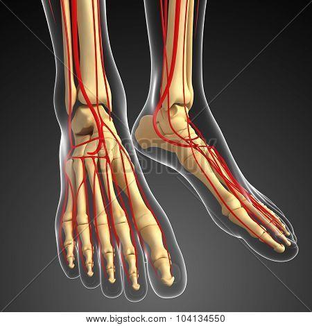 Human Feet Arterial System