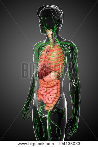 Lymphatic And Digestive System Of Male Body Artwork