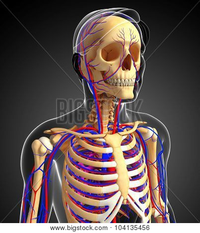 Male Skeletal Circulatory System