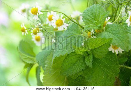 lemon balm and chamomile